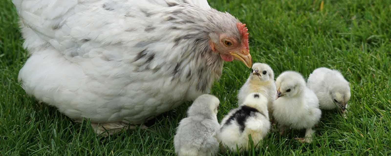 Hühnerfutter kaufen