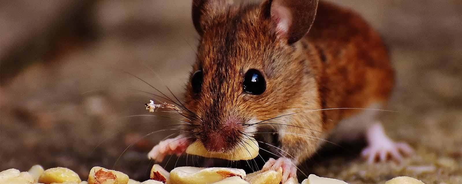 Mäusefutter kaufen